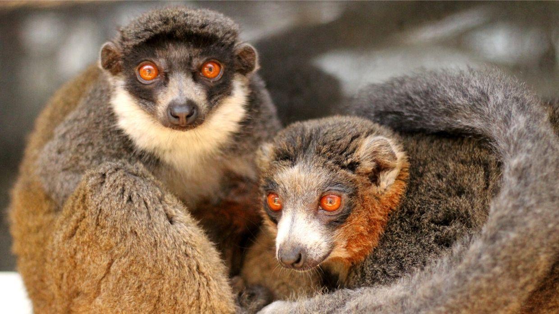 LCF mongoose lemurs Leena and Merced