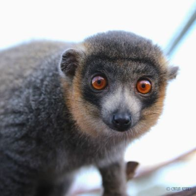 LCF mongoose lemur Julio