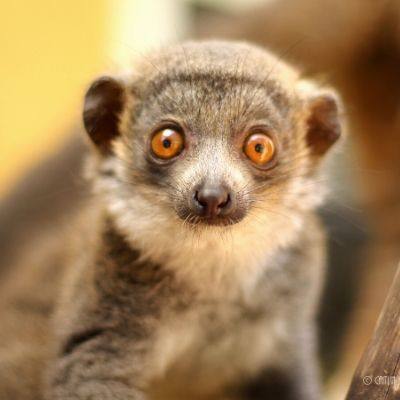 LCF mongoose lemur Lonzo (2018)