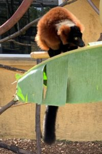 Red ruffed lemur enjoying banana leaf browse