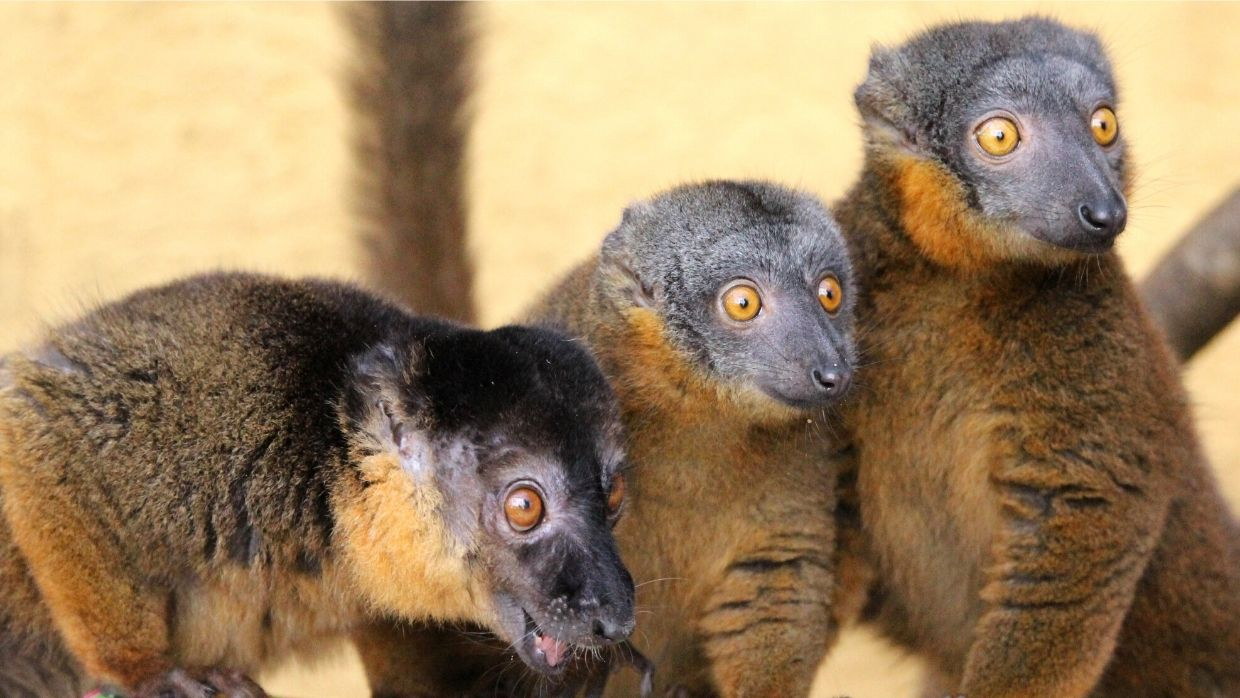 LCF collared brown lemurs photographed by Caitlin Kenney