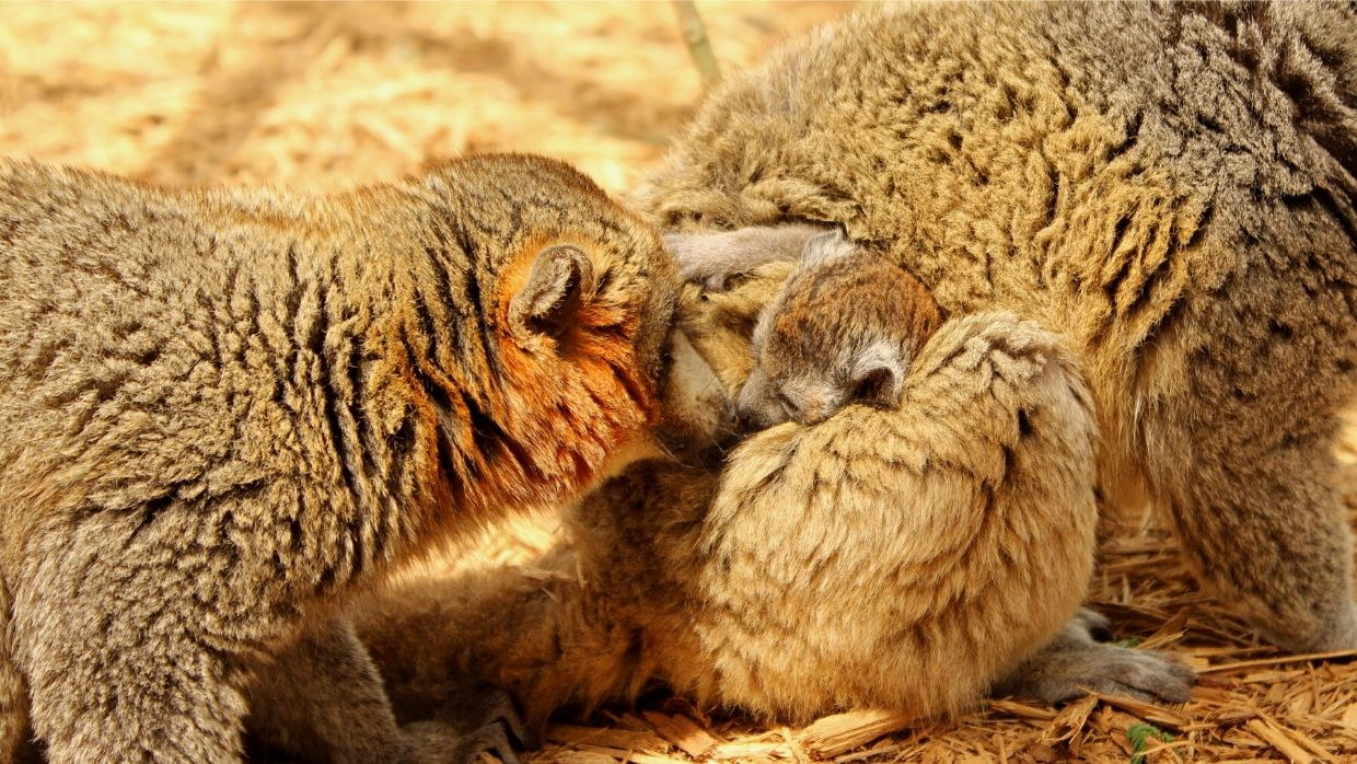 LCF adult mongoose lemurs with infant photographed by Caitlin Kenney