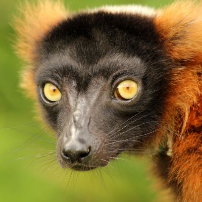 LCF red ruffed Lemur photographed by Caitlin Kenney