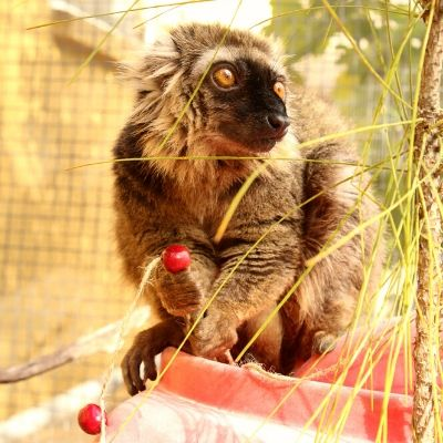 LCF Sanford's brown lemur photographed by Caitlin Kenney