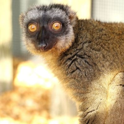 LCF common brown Lemur photographed by Caitlin Kenney