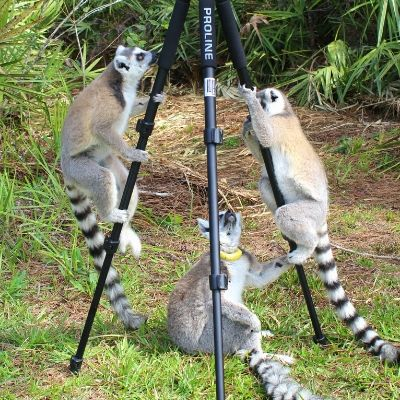 LCF ring-tailed lemurs photographed by Caitlin Kenney