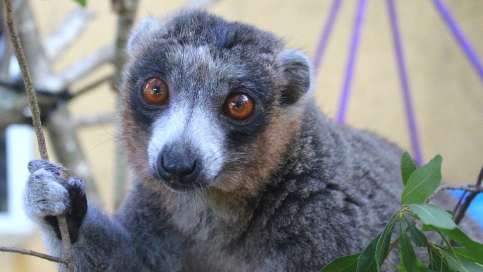 Meet mongoose lemur Mercedes