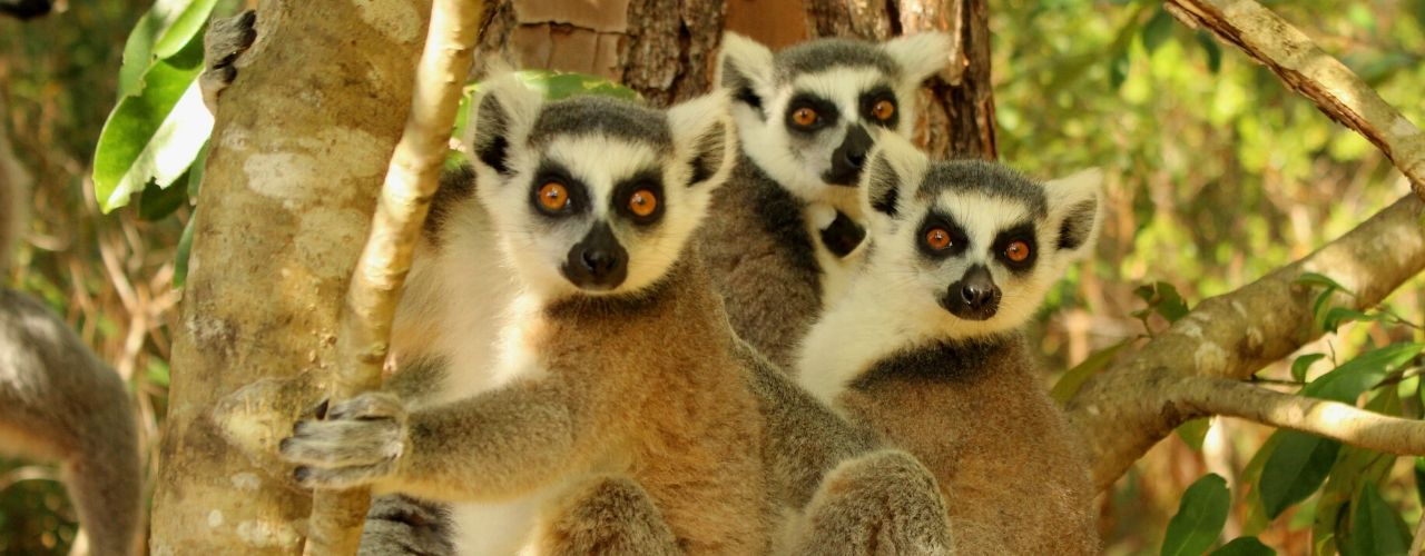LCF ring-tailed lemurs