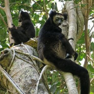 Indri mother and infant