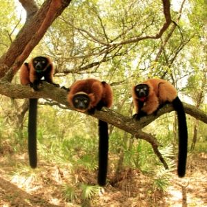 LCF red ruffed lemurs