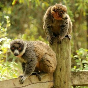 LCF mongoose lemurs
