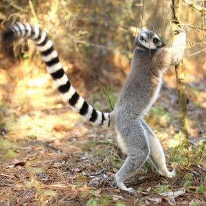 LCF ring-tailed lemur scent-marking