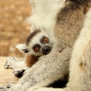 LCF ring-tailed lemur infant