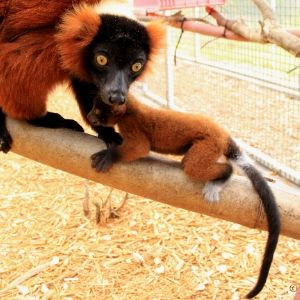LCF red ruffed lemur mother and infant