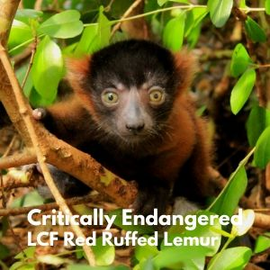 LCF red ruffed lemur