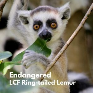 LCF ring-tailed infant