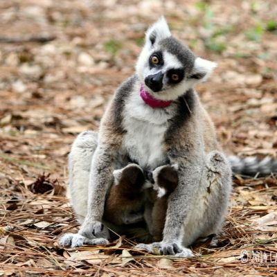 LCF ring-tailed lemur Ansell and twins