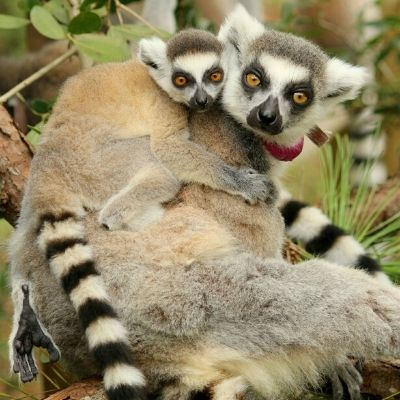 LCF ring-tailed lemur Ansell with infant Goose
