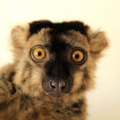 LCF Common Brown Lemur Merlot