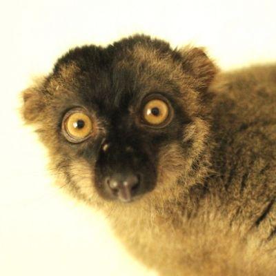 LCF Common Brown Lemur Malbec