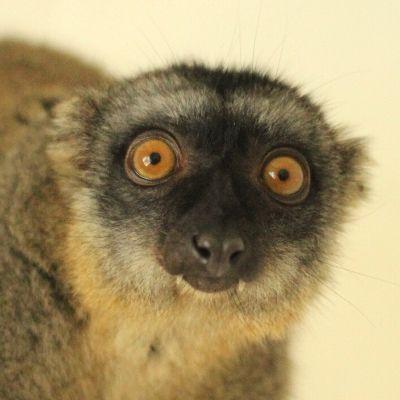 LCF Common Brown Lemur Muga