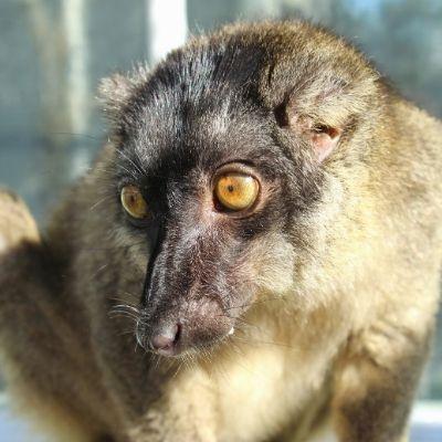 LCF Common Brown Lemur Pinot