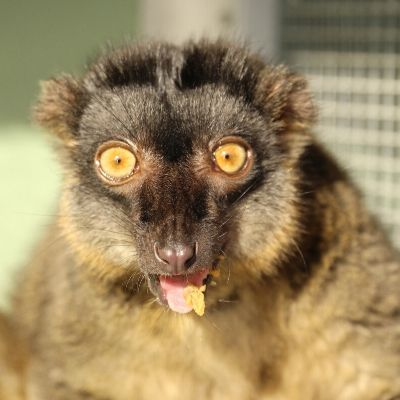 LCF Common Brown Lemur Zinfandel