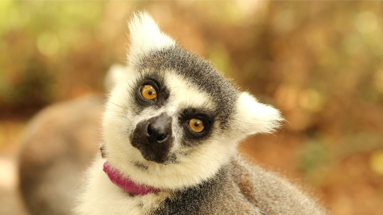 LCF ring-tailed lemur Ansell