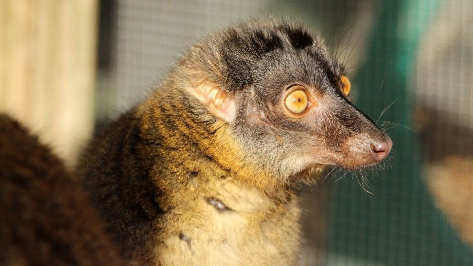 Meet common brown lemur Zinfandel