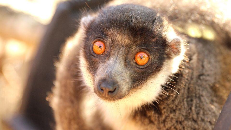 Meet mongoose lemur Rosalita