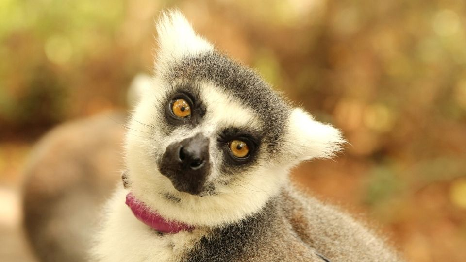 Meet ring-tailed lemur Ansell