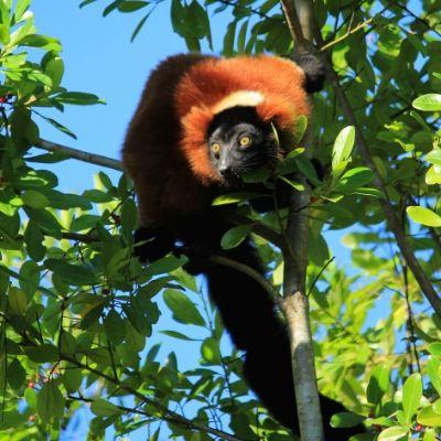 LCF red ruffed lemur Zazabe