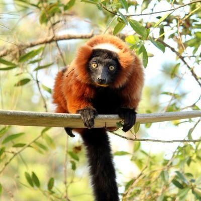 LCF red ruffed lemur Ravina