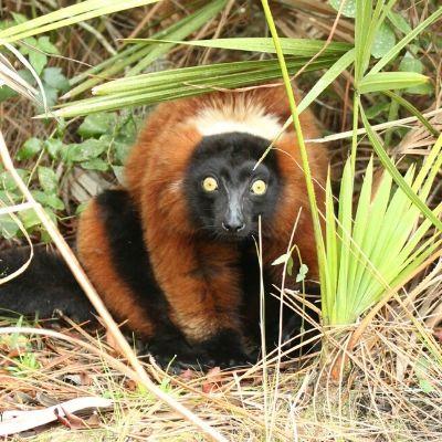 LCF red ruffed lemur Afo