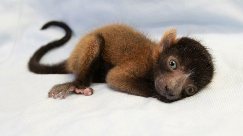 Exciting lemur infant news