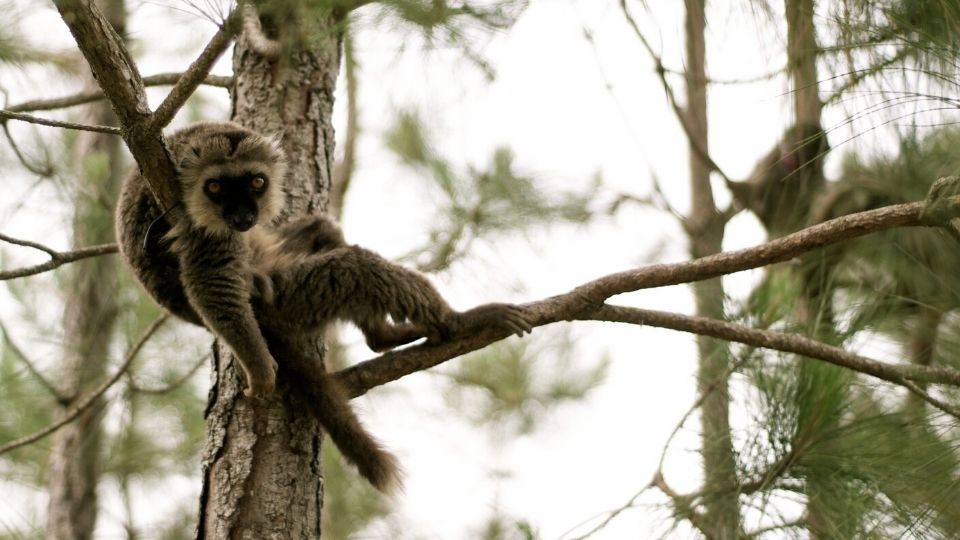 In Memoriam: LCF Sanford's brown lemur Ikoto