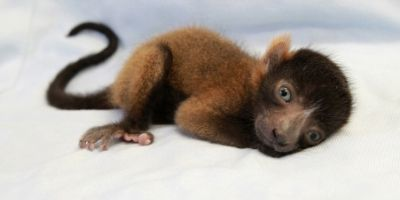 LCF red ruffed lemur infant