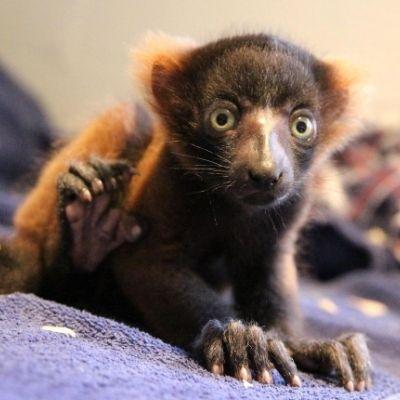 LCF red ruffed lemur Frezy