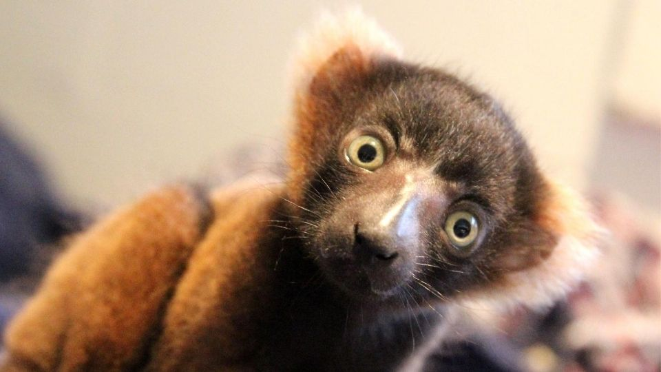 Our red ruffed lemur infant has a name