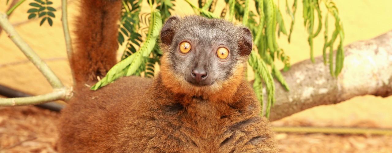 Collared brown lemur female looking at camera