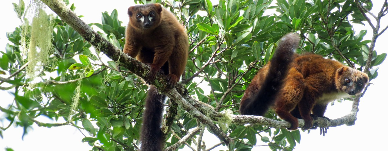 Two red bellied lemurs in tree in Madagascar
