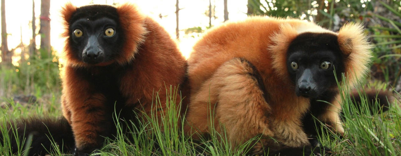 Two red ruffed lemurs sit on ground in forest habitat