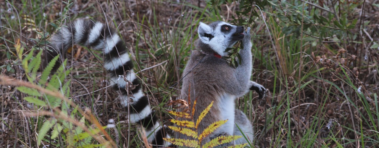 Ring-tailed lemur eating leaves in forest habitat