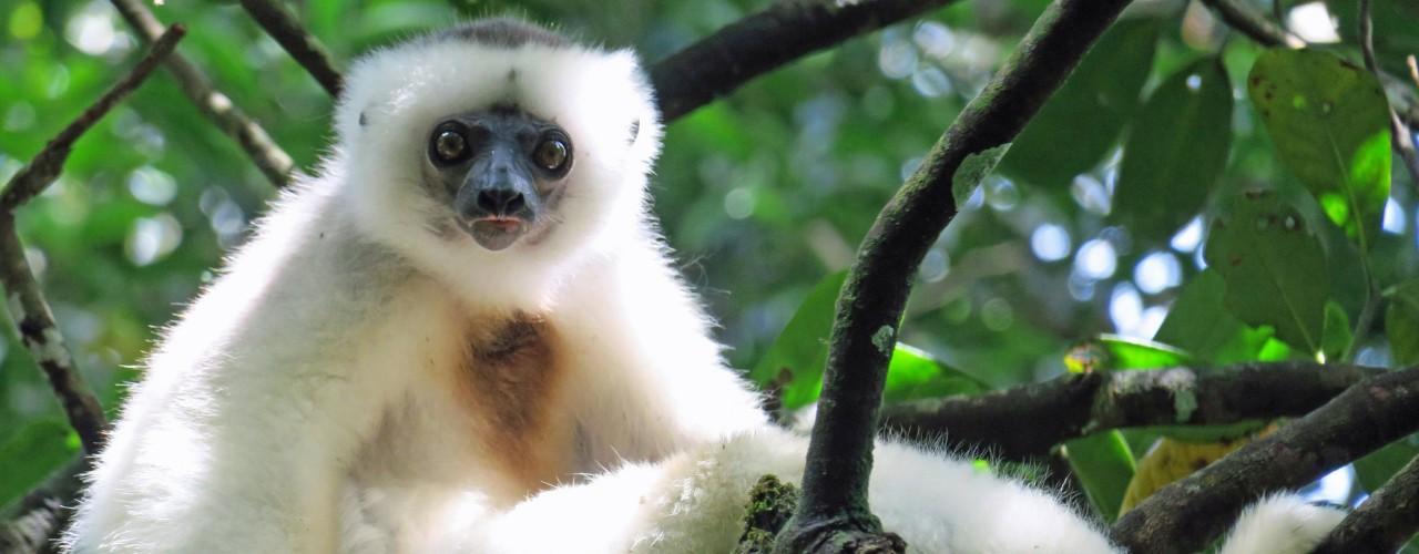 Silky Sifaka in tree in Madagascar