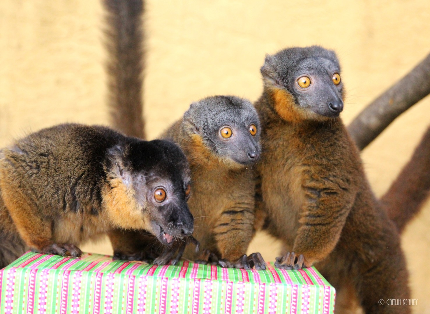 Three collared brown lemurs with holiday enrichment
