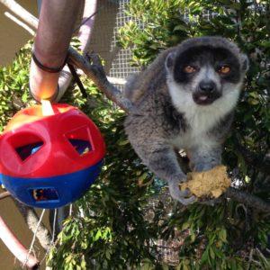 Mongoose lemur eating diet retrieved from plastic puzzle feeder
