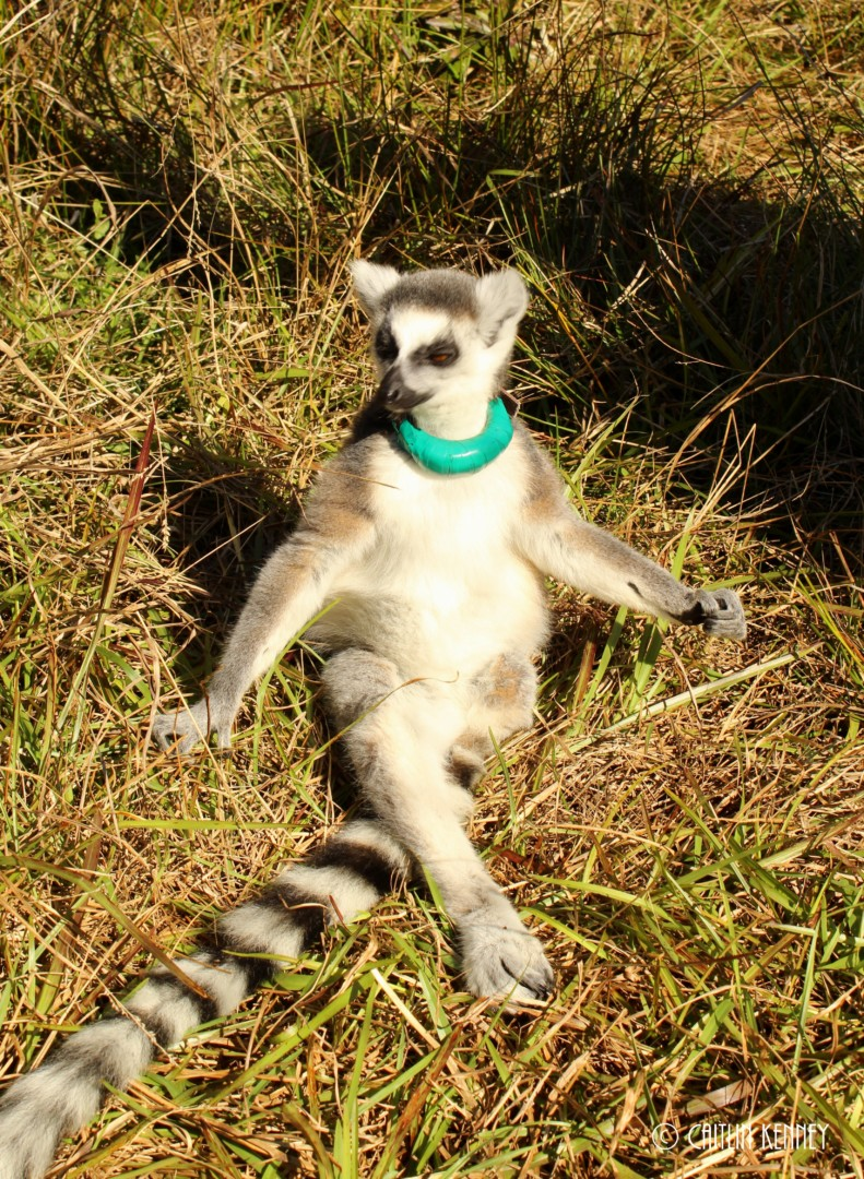 young ring-tailed lemur sits and basks in the sun