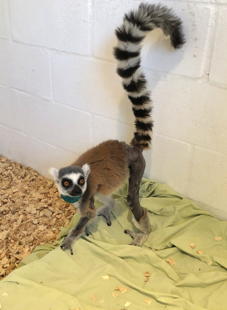 Ring-tailed lemur with shaved leg stands on dog bed