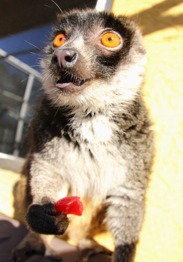 Mongoose lemur female eating cranberry sauce enrichment