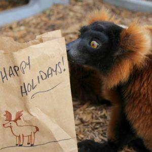 Red ruffed lemur investigates paper bag enrichment